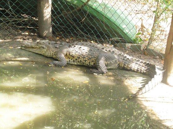 Santuario de Cocodrilos El Cora: Large crocodile