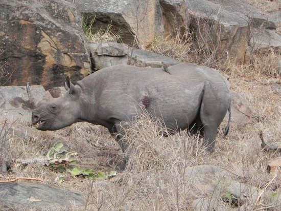 Sabi Sabi Bush Lodge: Black Rhino