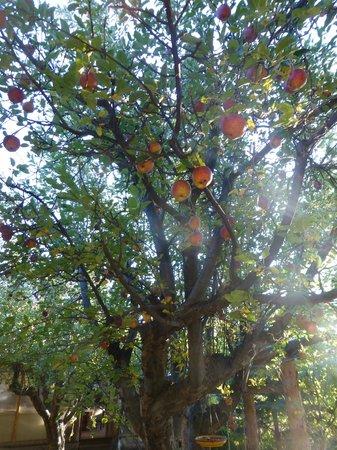 Cedaredge Lodge: Apple trees