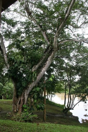 Howler Monkey Lodge: The beautiful Guanacosta Tree outside our door...