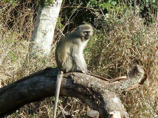 Thula Thula Exclusive Private Game Reserve and Safari Lodge: cercopiteco