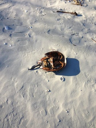 The Cloister at Sea Island: Horseshoe crab left on beach by tide