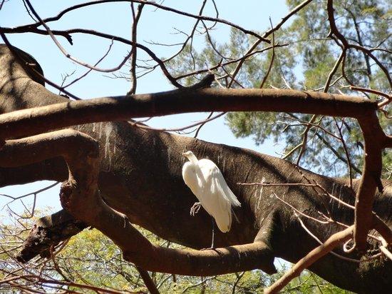 Americana: Nada como descansar sobre os galhos de uma árvore