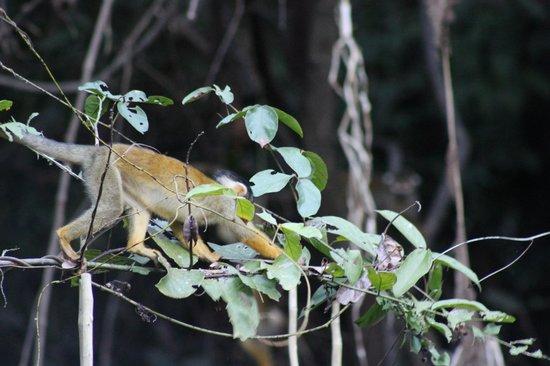 Pacaya Samiria Amazon Lodge: squirrel monkey