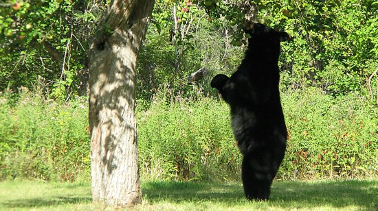 Windermere Creek Bed and Breakfast Cabins: Black Bear in the Orchard