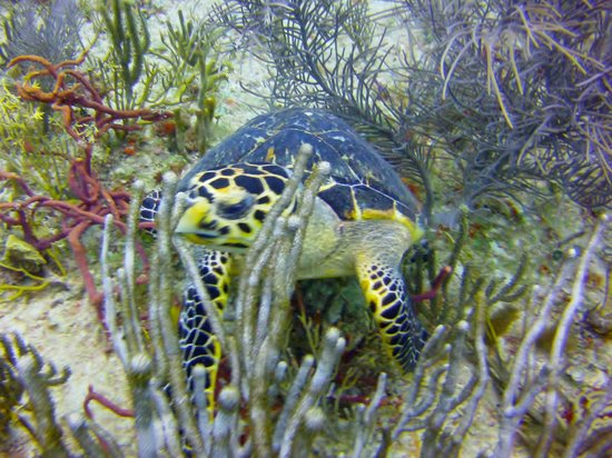 Dressel Divers: turtle
