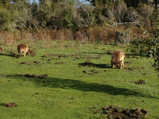 Exceptional Kangaroo Island : Kangaroos