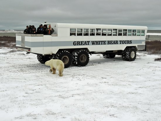 Churchill Nature Tours: Polar bear exploring our buggy