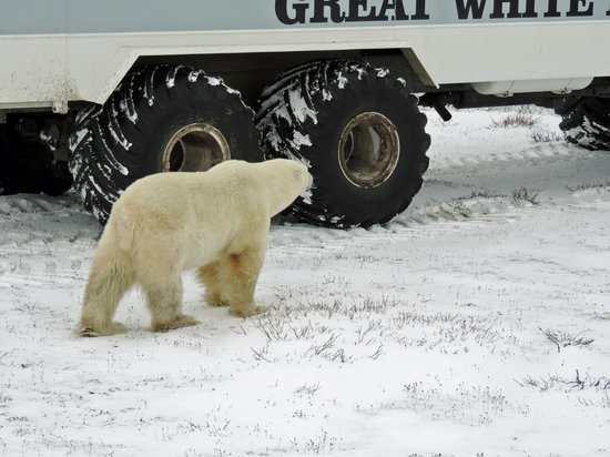 Churchill Nature Tours: my what big tires we have