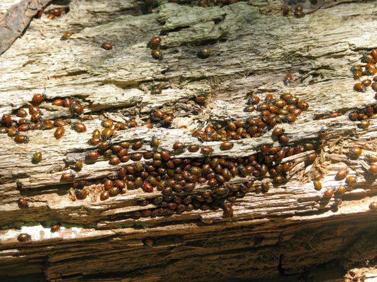 Nelder Grove : A swarm of ladybugs, only a portion of the entire swarm!