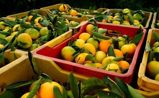 Etna Hotel : Orange harvest....