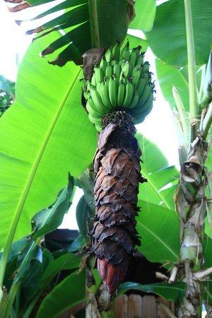 Kulakane: bananas