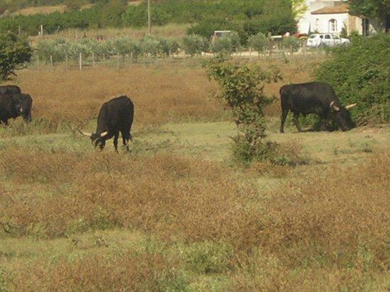 Camargue autrement safari 4x4 : taureaux