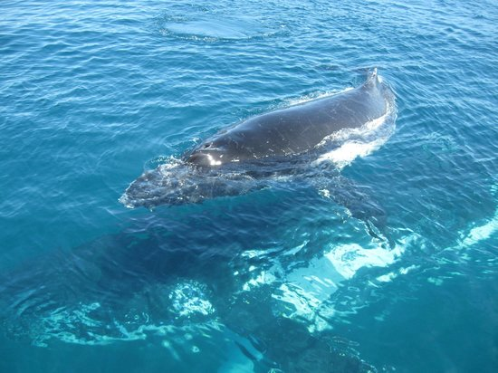 Naturaliste Charters: Mother and calf going under the boat