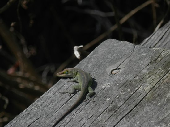 Nags Head Woods Ecological Preserve: a new friend sunning