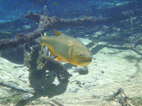 Peixe Dourado Picture Of Rio Da Prata Bonito Tripadvisor