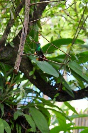Panama's Paradise Saigoncito: Vecino colibri
