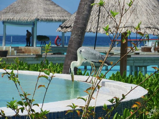 Centara Grand Island Resort & Spa Maldives: Morning visitor