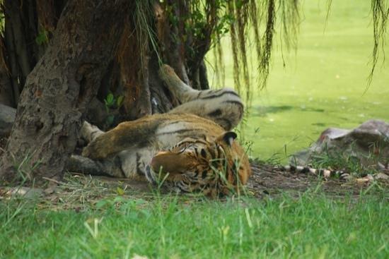 Safari World: Resting tiger