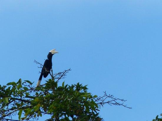Kinabatangan Jungle Camp: hornbill