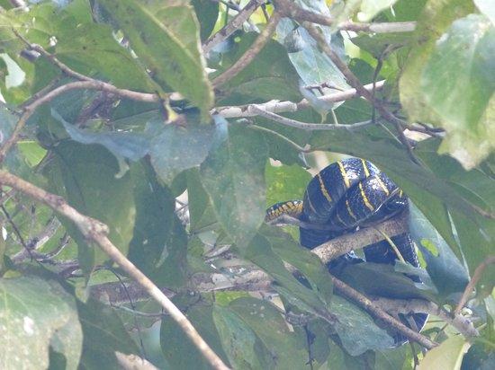 Kinabatangan Jungle Camp: mangrove snake