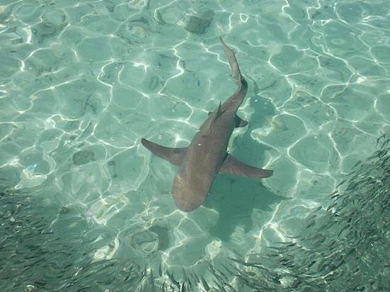 Heron Island, Australia: A Lemon Shark, about 6ft long chasing baitfish near the jetty