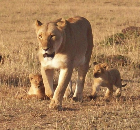 Royal Mara Safari Lodge: Mum and her new cubs