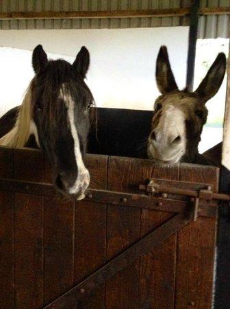 Muckross Riding Stables B&B: Donky en Tinker