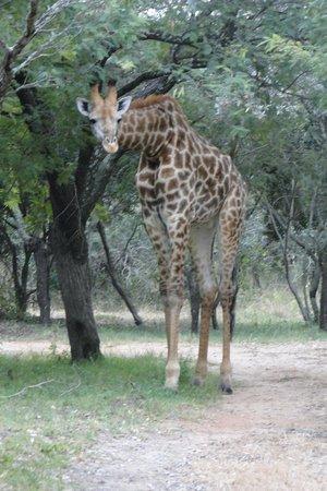 Pezulu Tree House Game Lodge: Nieuwsgierige giraffen tussen de boomhutten