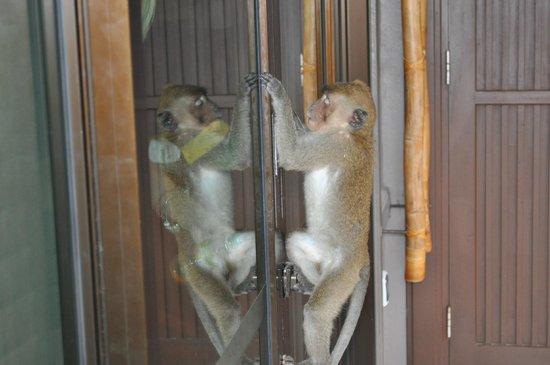 Centara Grand Beach Resort & Villas Krabi : Singe essayant d'ouvrir notre fenêtre
