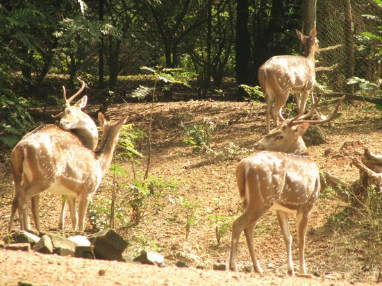 Santiniketan, India: Spotted Deers in Deer Park