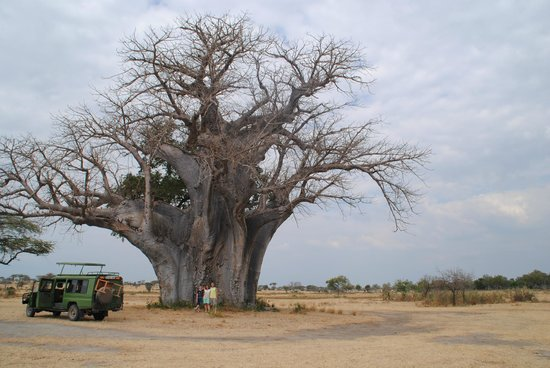 Selous Game Reserve: Baobab Tree