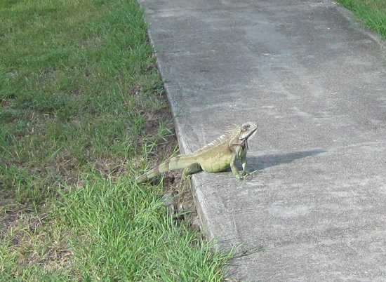The Palms at Pelican Cove: Local wildlife up close and personal - iguana!