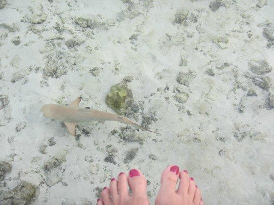 Vilamendhoo Island Resort & Spa: Little shark in the water