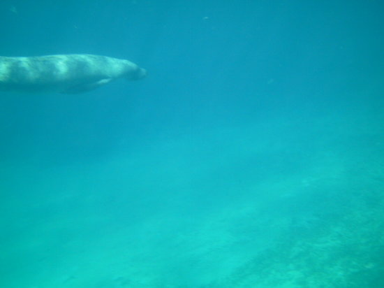 Barefoot Beach Belize : My wife saw a manatee at Hol Chan