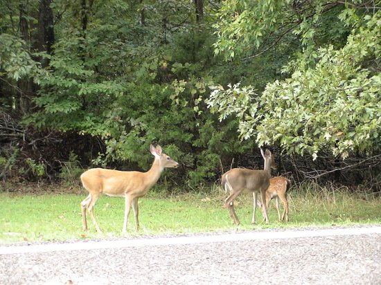 Gaston's White River Resort: Wildlife right there on grounds