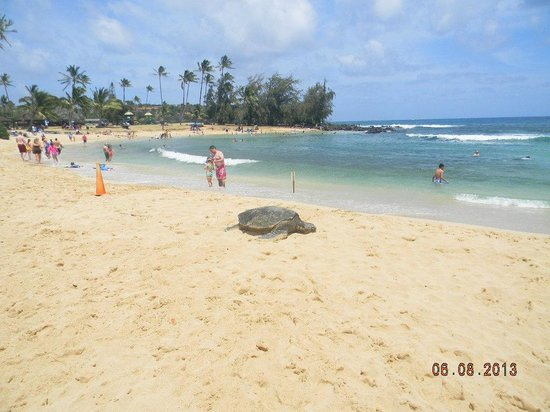 Marriott S Waiohai Beach Club Turtle On Poipu
