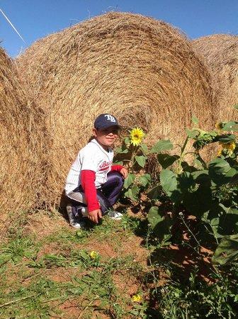 Southern Belle Farm : sunflowers