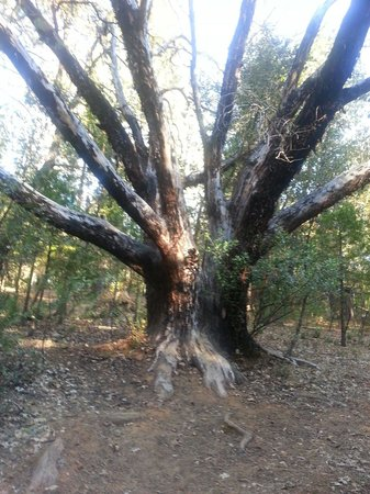 Indian Grinding Rock State Historic Park: Beautiful tree along the south hiking trail