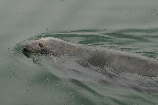 Chatham Pier and Fish Market: resident seal