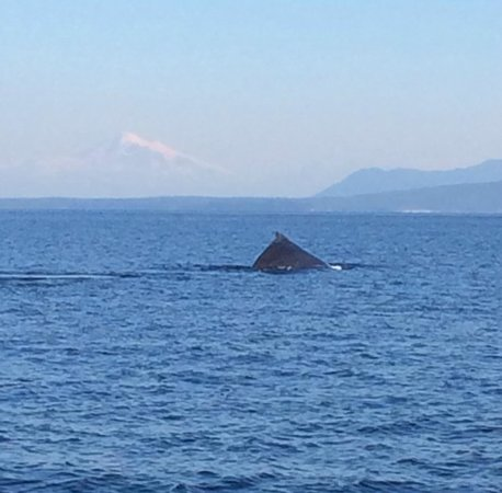 """Maya's Legacy Whale Watching: Photo of Humpback Whale (BCY0409 """"Yogi"""") with Mt. Baker in the background."""