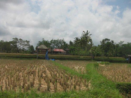Umajati Retreat: Rice paddies, view to the south, from Wates Bangbau House