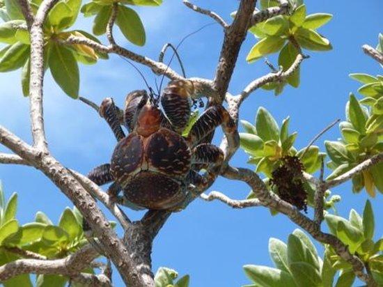 """Maupiti Island, Polinesia Francesa: la mascotte """"HINANO"""" le crabe de cocotier"""