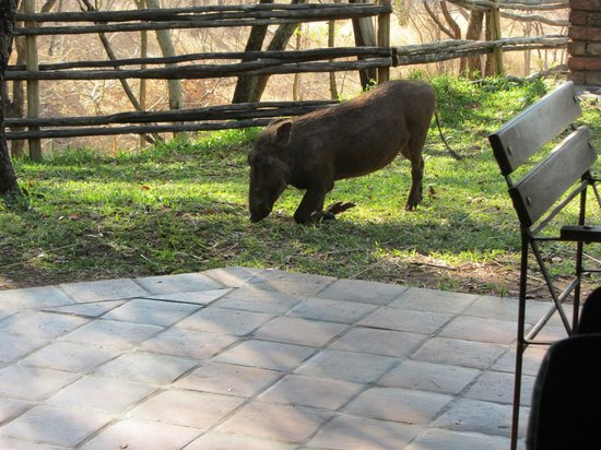 Lokuthula Lodges: Warthog right outside our Lodge