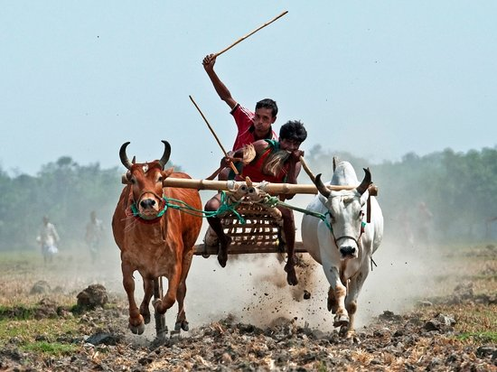 Bullock Cart Race, Rural Sports of Bangladesh