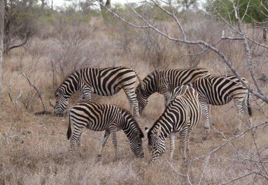 """Elandela Private Game Reserve: """"caballitos rayados"""""""