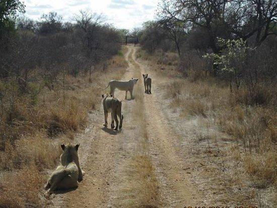 Elandela Private Game Reserve: las leonas buscan el desayuno