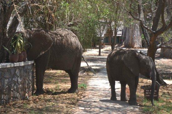 Tarangire Safari Lodge: elefanti in visita al lodge