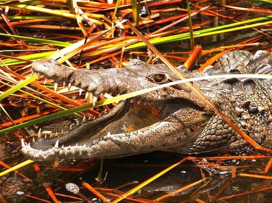 Turner Taxis and Tours Jamaica: Crocodile at Black River