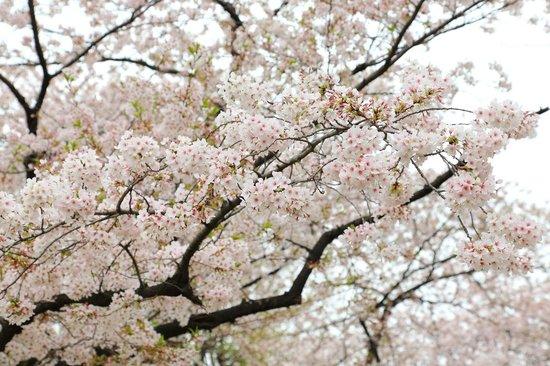 Sumida Park : 桜